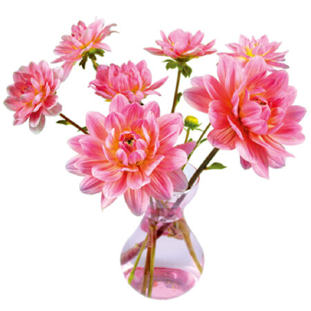 flat flower, kaart, dahlia, roze