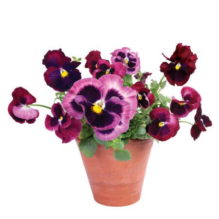 flat flower, kaart, viooltjes